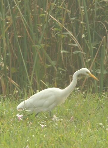 IMG_0278 Cattle Egret