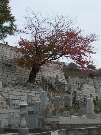 un cerisier dans le cimetière