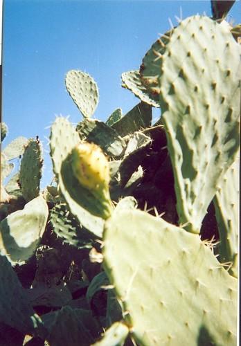 Cactus_Milli_صبّار
