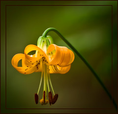 Avalanche Lily - forest wildflower photo by TT_MAC