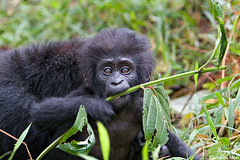 Infant Mountain Gorilla, Bwindi Impenetrable Forest - Uganda photo by Giovanni Mari