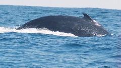 humpback whale 7