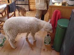 Kitchen Lamb