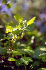 GF1 600 - 22 Gooseberry
