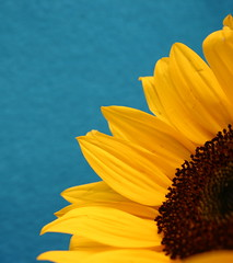 sunflower series 2