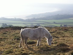 A pony with oxwich bay in the background