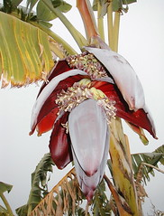 Banana Flower Feb 2 06