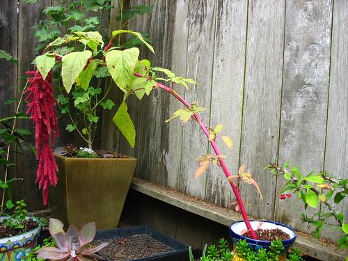 amaranthus 2