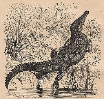 endaccFlorida%20Crocodile%20Crocodilus%20americanus%20bt%20gm