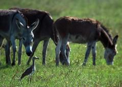 Double-striped Thick-knee (Burhinus bistriatus) + Donkeys