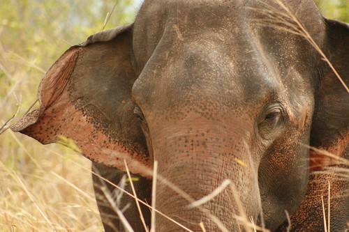 Sri Lankan elephant  in the Udawalawe National Park