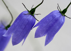 Purple bell