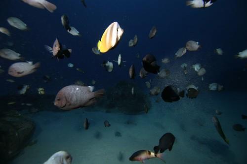 橡皮輪胎人工魚礁的魚群已經被餵養習慣,不太怕人