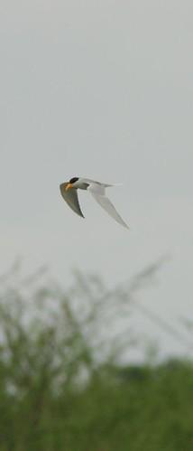 IMG_0011 River Tern