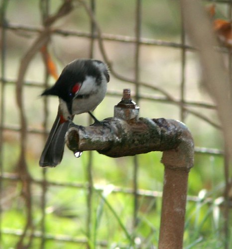 IMG_0293 Red-whiskered Bulbul, trying to drink water