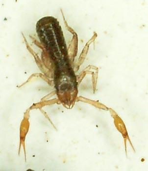 pseudoscorp1