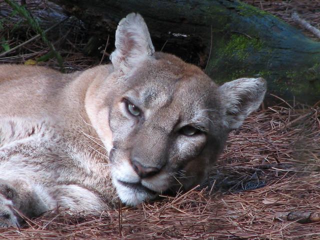 florida panthers animal. The Florida Panther Animal