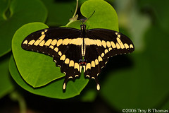 20061125_GiantSwallowtail