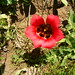 Romulea sabulosa by apricor