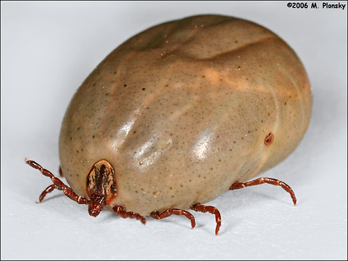 Dog tick vs deer tick engorged - photo#9