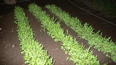 今週の市民農園:はりはり水菜が発芽
