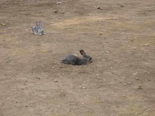 刨坑的兔子