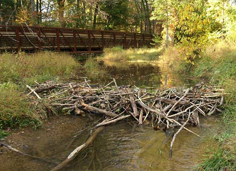 Beaver Dam across 10-mile Creek