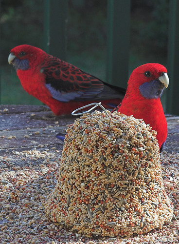 Decorative rosellas