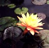 karleen harder water lily