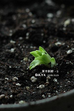 Lilium formosanum 鐵砲百合