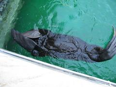 Bashful Fur Seal