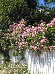 Picket Fence - Rose Garden photo by macdognome