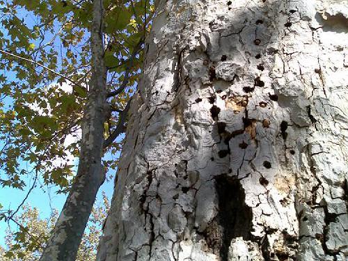 Acorn Woodpebker Holes