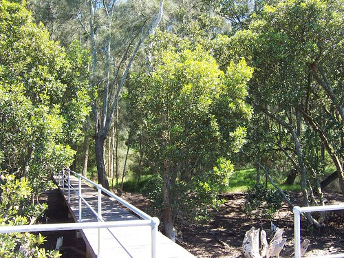 Mangrove forest walk West Gosford