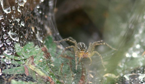 IMG_0089 Wolf spider outside the nest