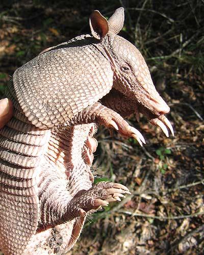 Armadillo-long-claws