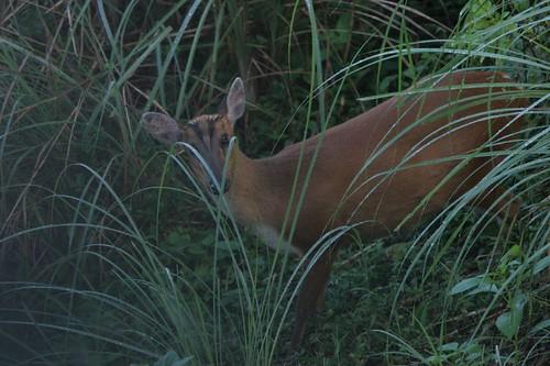 IMG_0169 Barking deer