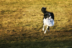 collie-frisbee