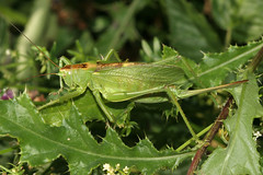 Tettigonia cantans F 68 Storckensohn IMG_6106 photo by Laurent Schwebel