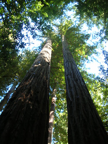 Tall redwood trees at Big Basin