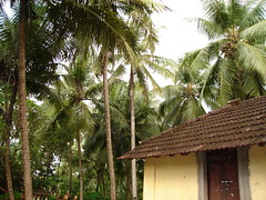 Coconut grove outside Udupi home