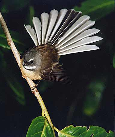 The votes are all in and thefantail/piwakawaka is officially New Zealand's