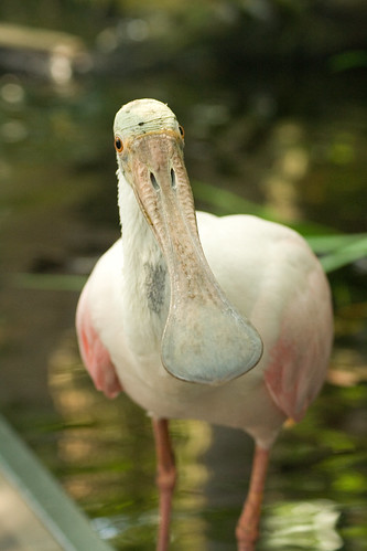 Spoonbill showing off his...err....spoon bill