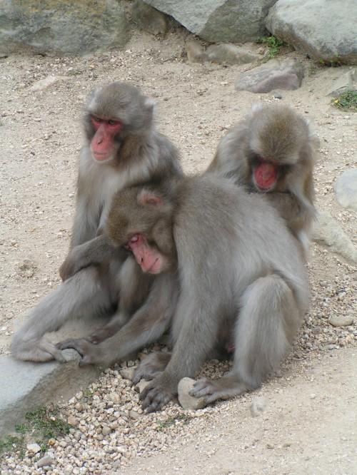 Shodoshima macaques du japon