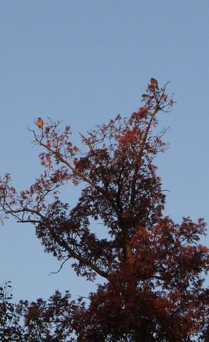 Treetop hawks, Sunday morning