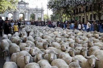 ovejas urbanitas