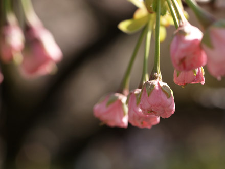 八重桜の蕾