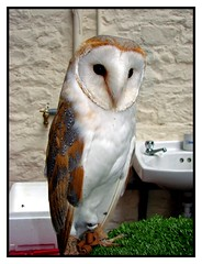 Barn Owl with a volunteer