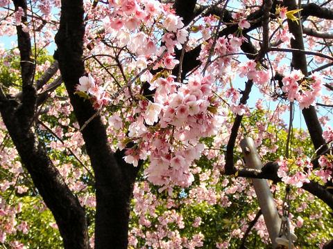 MacJapan-CherryBlossoms