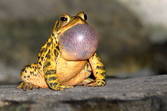 Frog - Pond in Maine photo by Nikographer [Jon]